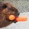 бобер несет морковку
