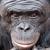 бонобо-асексуал