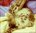 Котёнка ласкают, а он кайфует