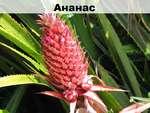 Ананас ! 1 1 1 Т 1