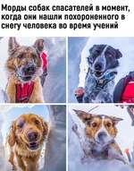 Морды собак спасателей в момент, когда они нашли похороненного в снегу человека во время учений